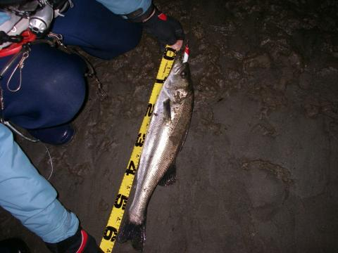 那珂川、涸沼川、涸沼 シーバス 2008.3.6.2