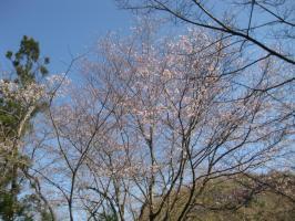 高知の旅 桜 009