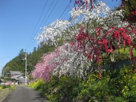 高知の旅 桜 015
