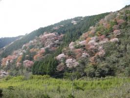 高知の旅 桜 033