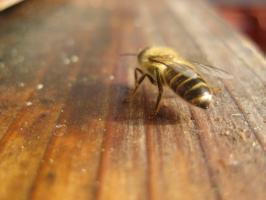 蜜蜂・サクランボ・BB 030