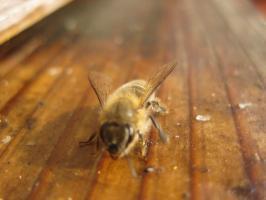 蜜蜂・サクランボ・BB 032