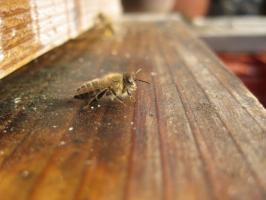 蜜蜂・サクランボ・BB 033