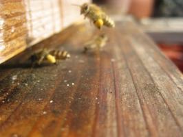 蜜蜂・サクランボ・BB 035
