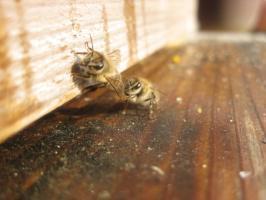 蜜蜂・サクランボ・BB 038