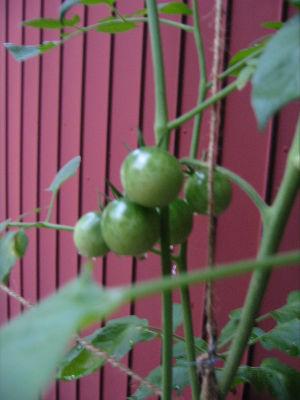tomato-mi1