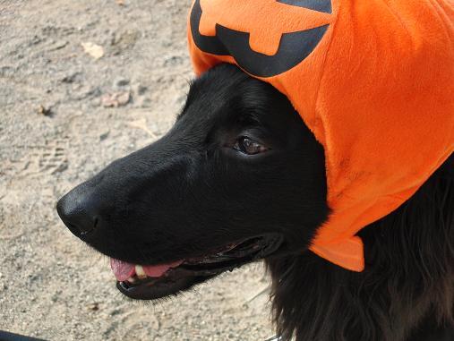 シエル君とかぼちゃ