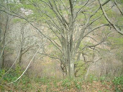 08ブナ大木