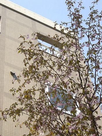 国際YHをバックの桜