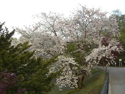 天神山緑地の桜