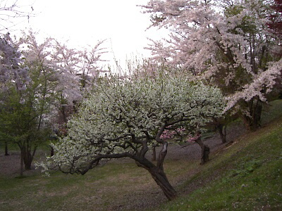 いろいろな種類の桜や梅