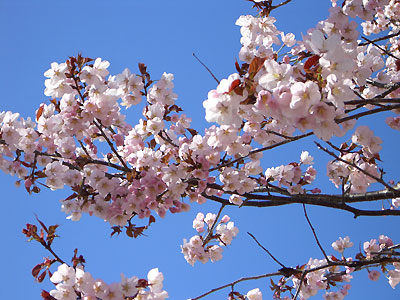 札幌市中央区の桜♪