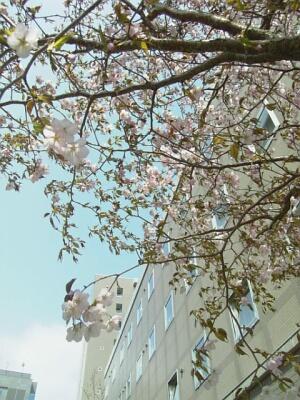 桜の木とYH。