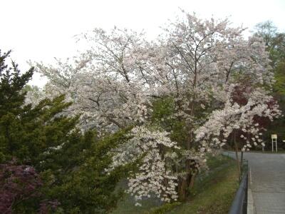 天神山の桜