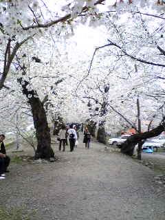 角館の桜07