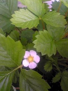 いちご開花
