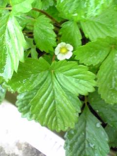 いちごの花2