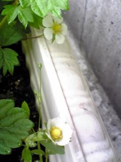 いちごの花4