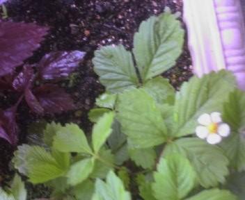 しそとイチゴの花