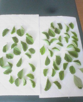 7月27日洗った葉っぱ