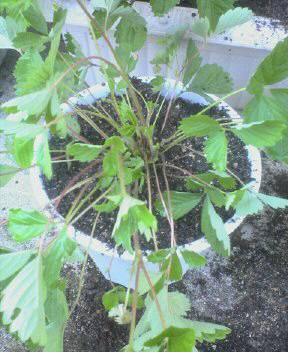7月27日植え直したイチゴ