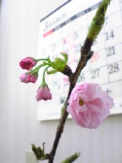 さくら、咲く。