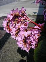 pink お花