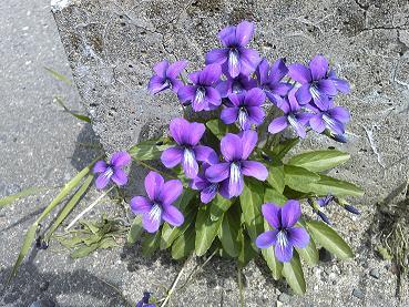 道端の紫の花