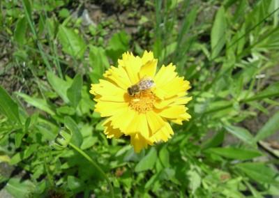 ミツバチ花粉団子その1