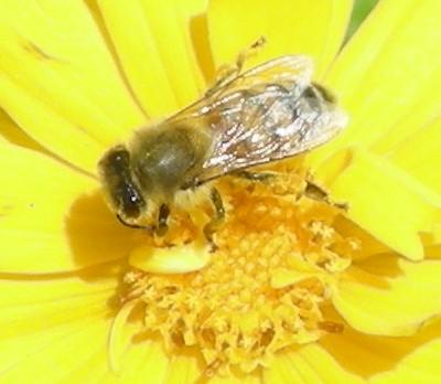ミツバチ花粉団子その2