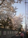 sakura-00.jpg