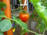 トマトも収穫間近です。。