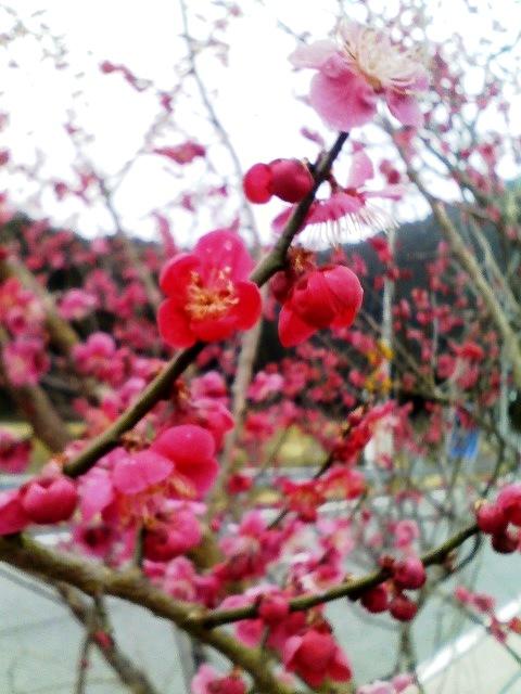 亀岡の梅。