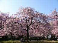 庄内緑地公園・桜並木