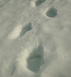 クマさんの足跡!!!