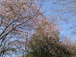 満開の桜-1