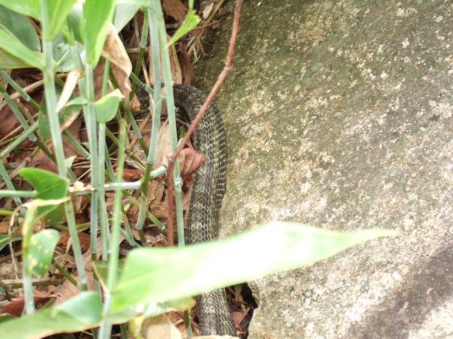 羽帯-蛇-1