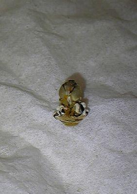 090523 前蛹殻