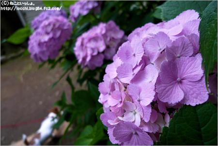 紫陽花<白山神社>