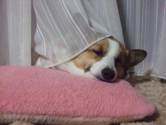 わんこも枕がある方が寝やすいらしい