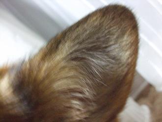 はるちゃのお耳は小さいんですよ