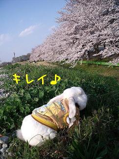 お花見すみれ