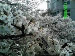 2006-春 中野通りの桜