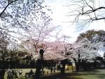 不思議鏡の大広間 公園の桜。