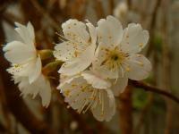 さくらんぼの花開花