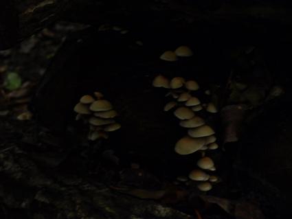 4クリタケ幼菌