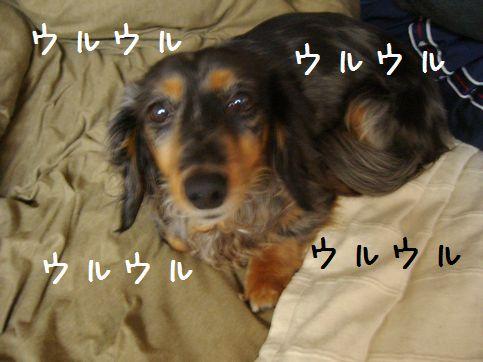 娘犬ウルウル