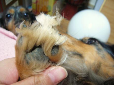 母犬の手毛