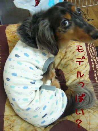 娘犬モデル風