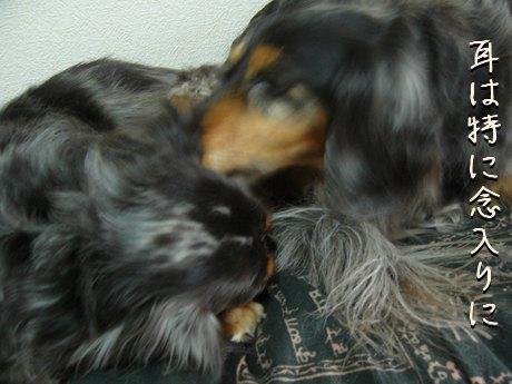 母犬耳も舐める